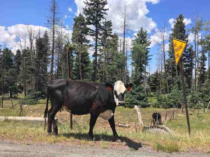 High elevation cattle grazing near Chama New Mexico