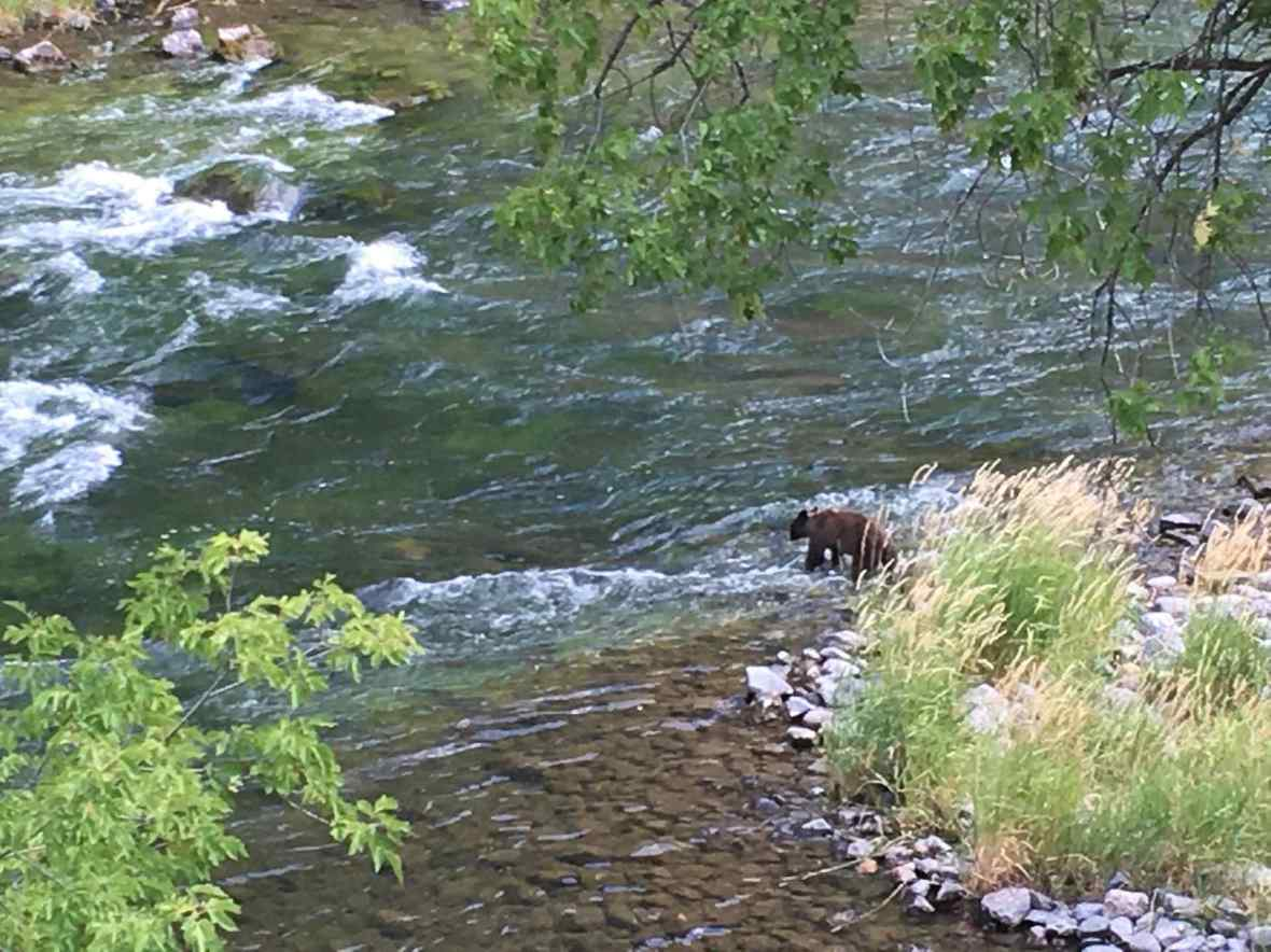 Juvenile bear preparing to swim across the Gunnison River in Black Canyon National Park
