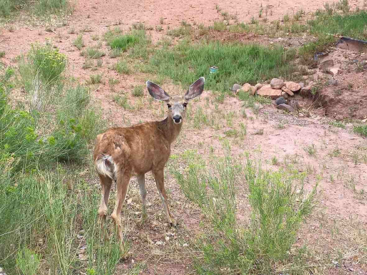 Mule deer in campground at Capitol Reef National Park