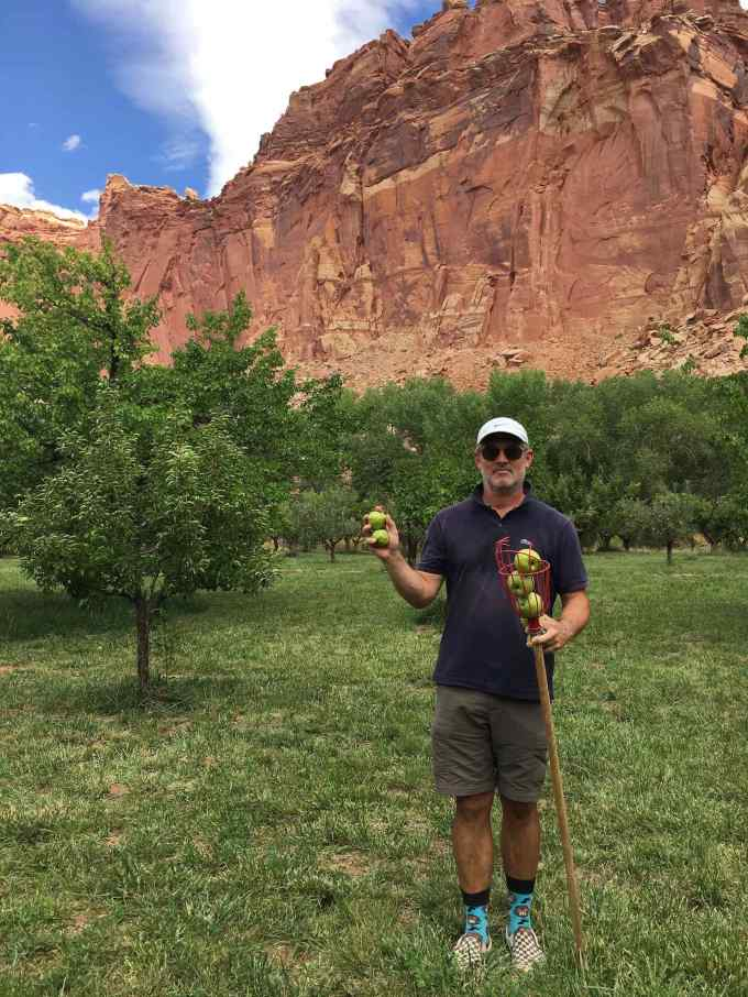 Picking Ginger Gold apples in the Fruita Orchards at Capitol Reef National Park