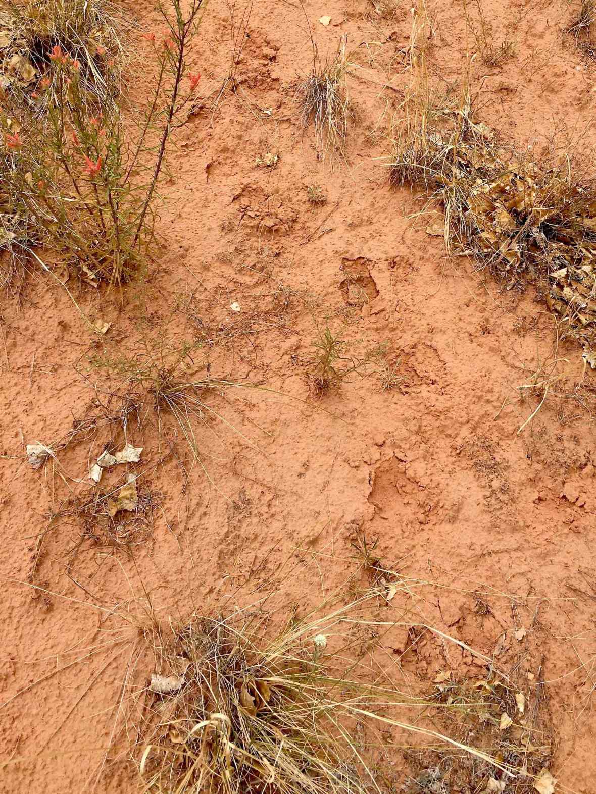 Fresh Mountain Lion tracks near the Pleasant Creek Trail in Capitol Reef National Park