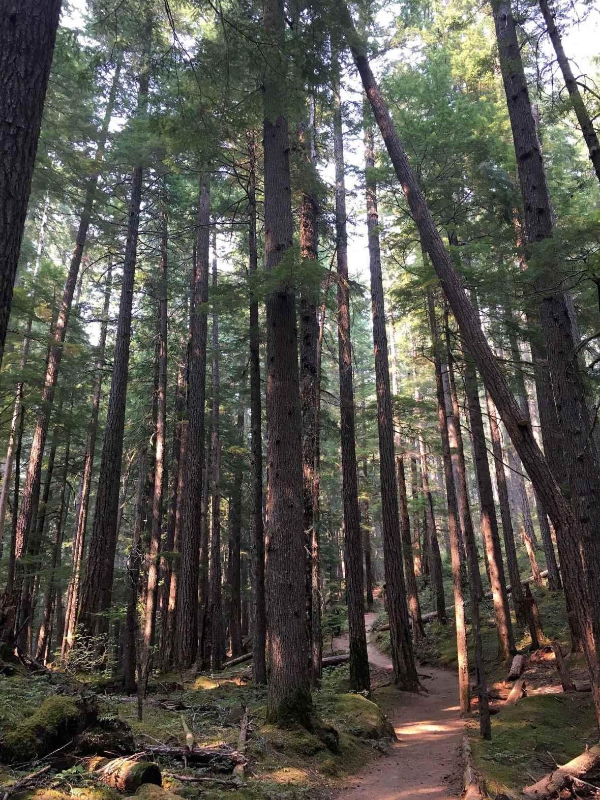 Walking under the tall trees on the Silver Falls trail Ohanapecosh Mt Ranier National Park