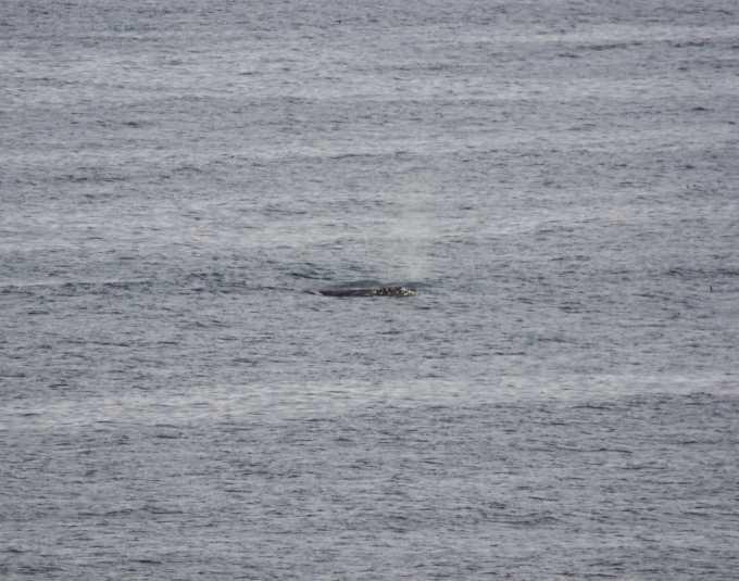 Whale surfacing near Cape Arago Oregon