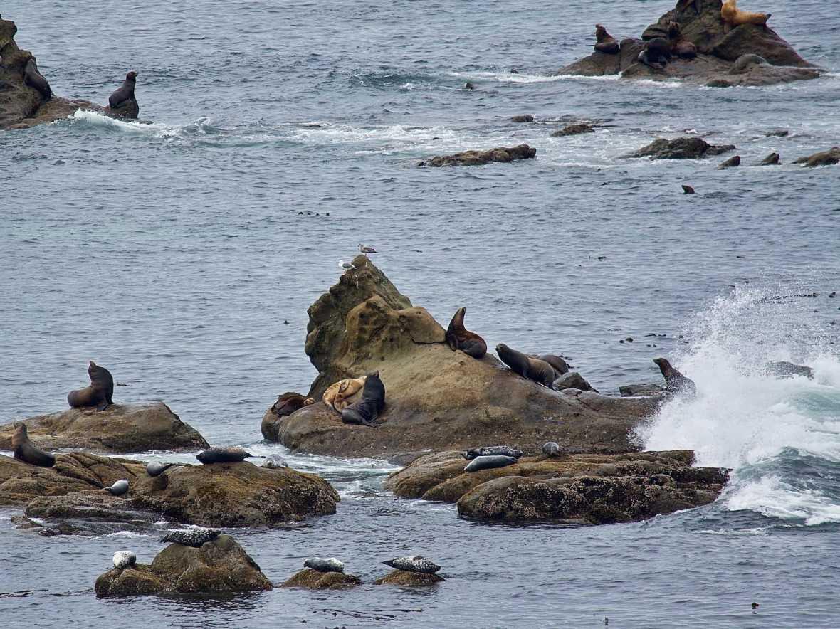 Seal Lions & Harbor Seals at Simpson Reef Cape Arago Oregon