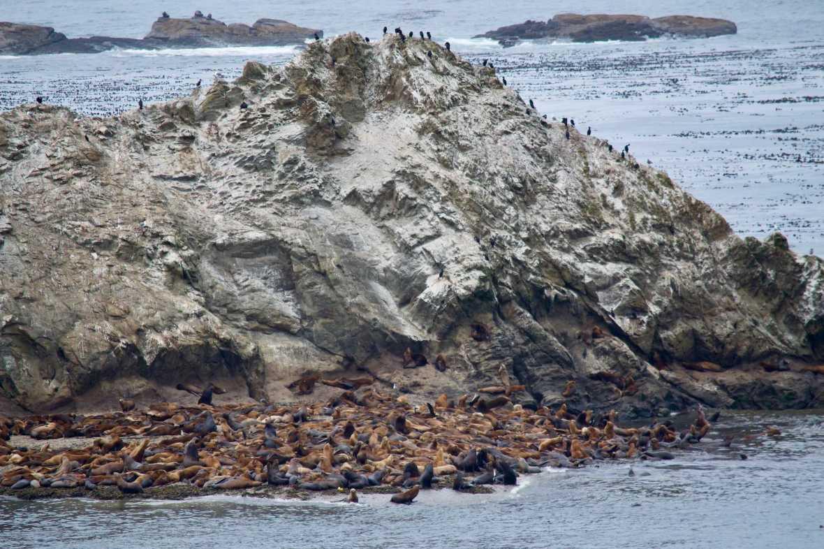 California Sea Lions, Steller Sea Lions, and Cormorants on Shell Island Simpson Reef Cape Arago Oregon