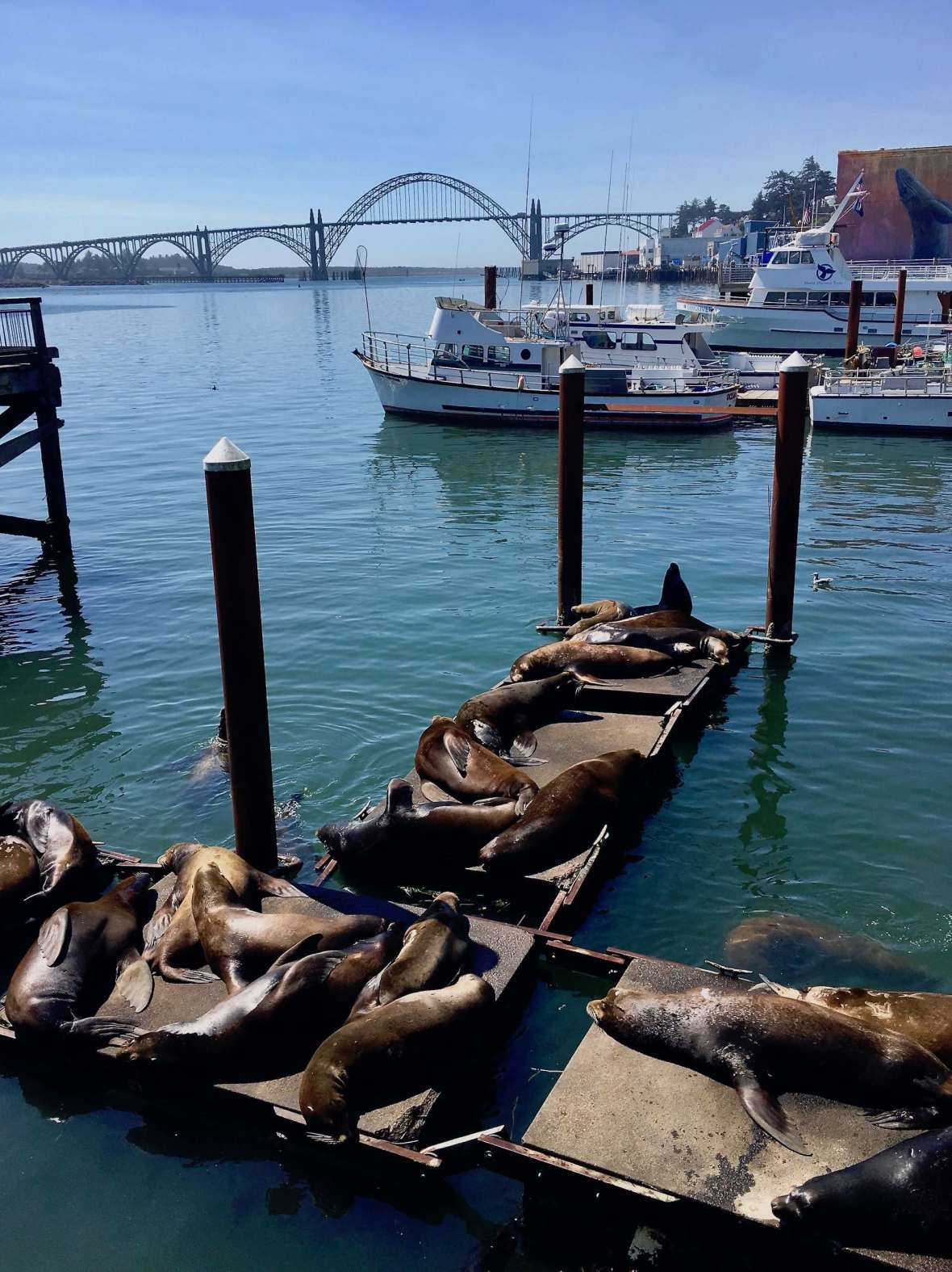 Resident Sea Lions Yaquina Bay Bridge, Newport Oregon Coast Highway 101