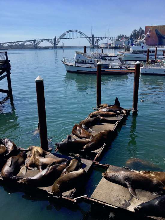 Resident Sea Lions Yaquina Bay Bridge, Newport Oregon Coast Highway 101