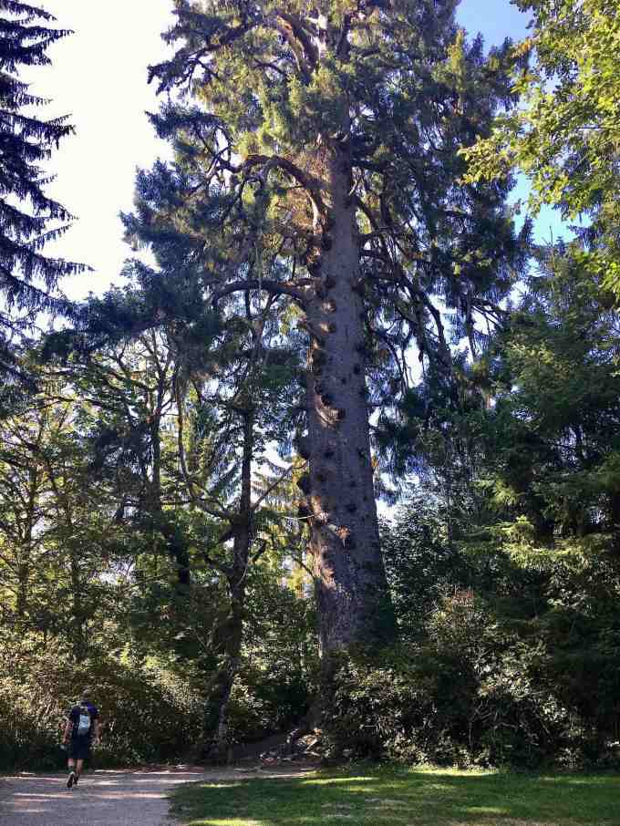 The world's largest Spruce tree Olympic National Forest Park
