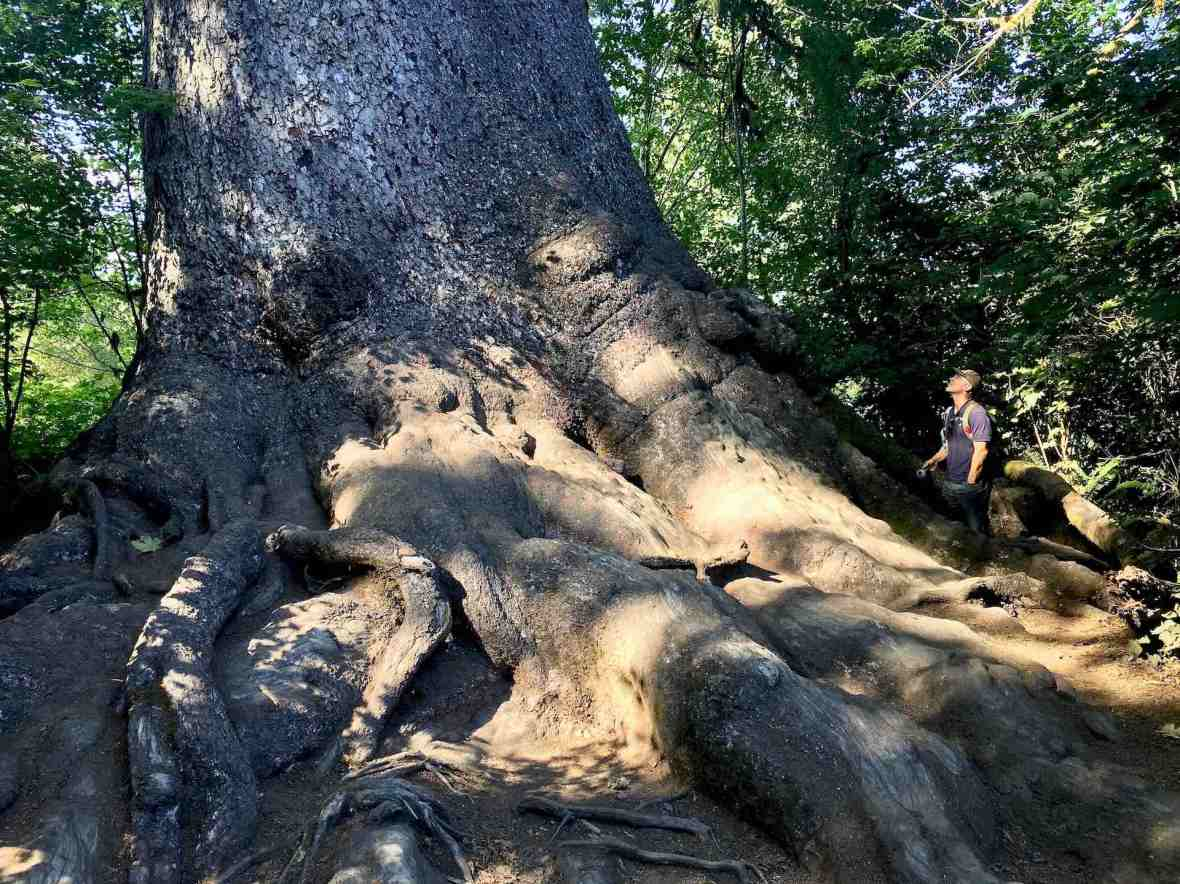 The world's largest Spruce tree Olympic National Forest Park Washington