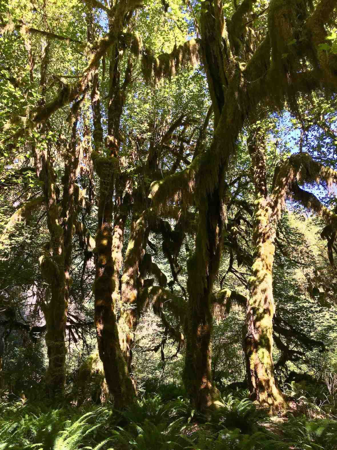 Moss-draped trees in Hoh rainforest at the end of dry season Olympic national park