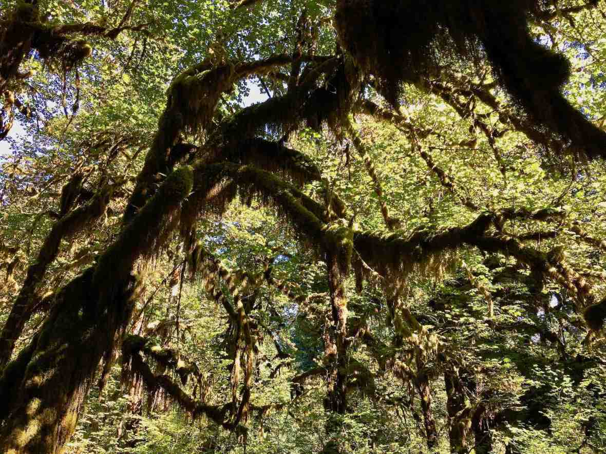 Quinault Rainforest mosses Olympic National Forest park Washington