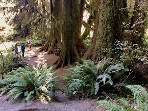 Massive ferns and trees in Hoh rainforest Olympic National park Washington