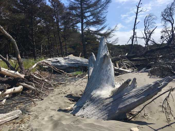 Giant driftwood stump on Benson Beach Cape Disappointment State Park