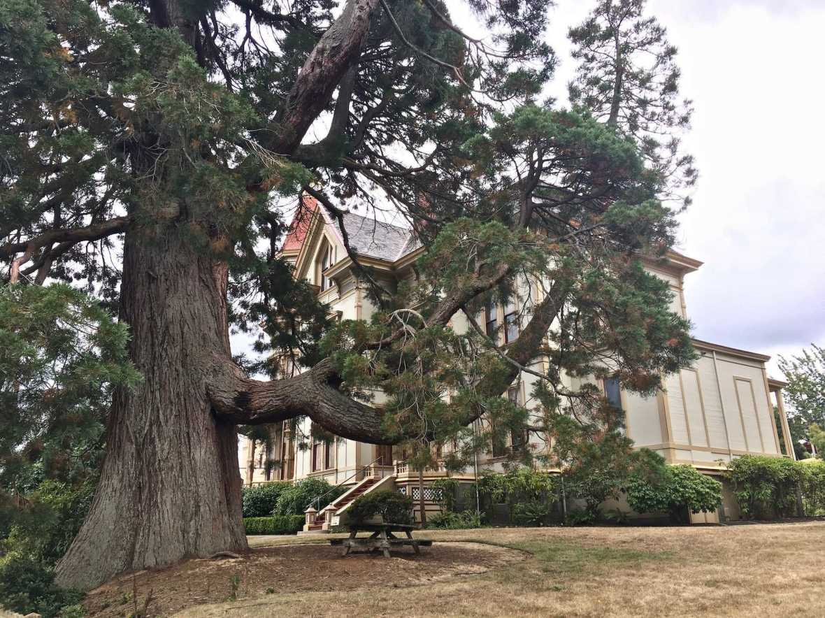Giant tree in front of the Flavel House Museum Astoria Oregon