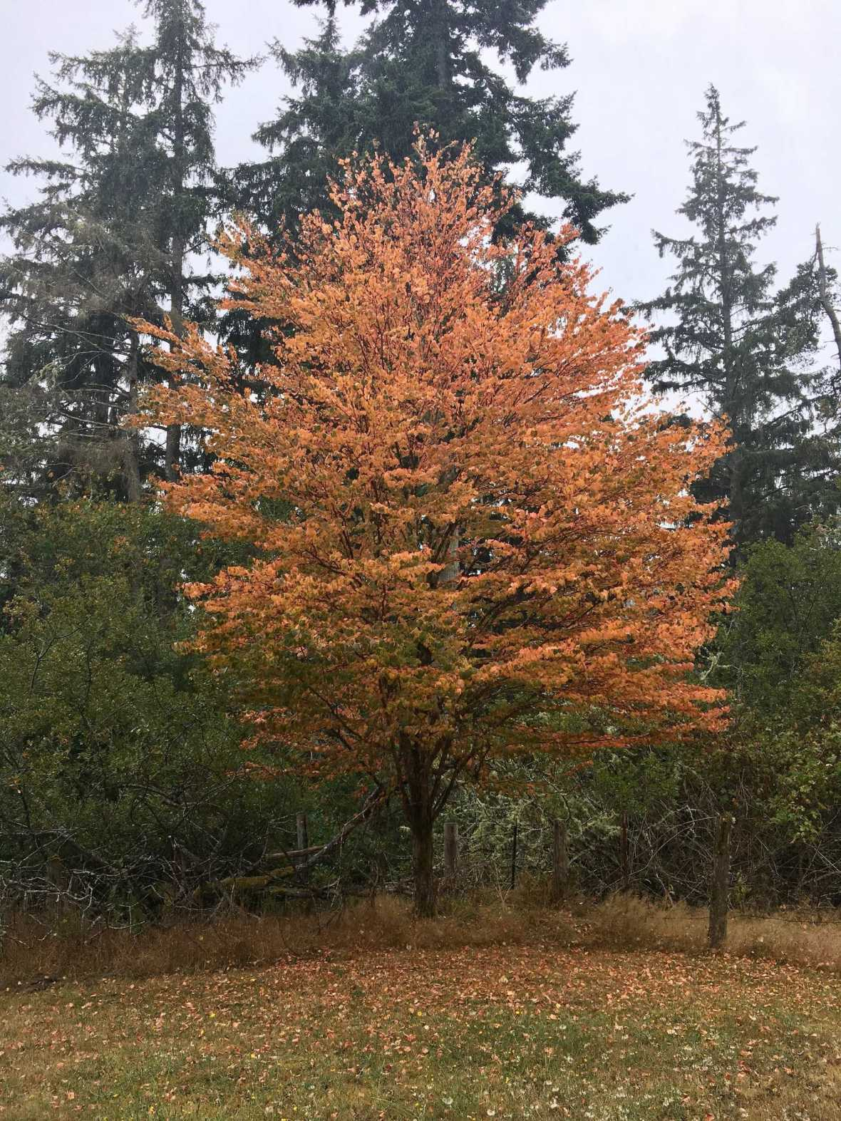 August early autumn color tree Washington coast