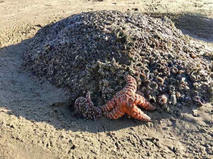 Sea Stars at Cannon Beach, Haystack Rock tide pools Cannon Beach Oregon