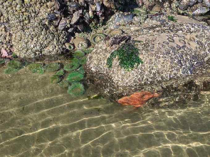 Sea Star starfish & Anemones at Haystack Rock tide pools Cannon Beach Oregon