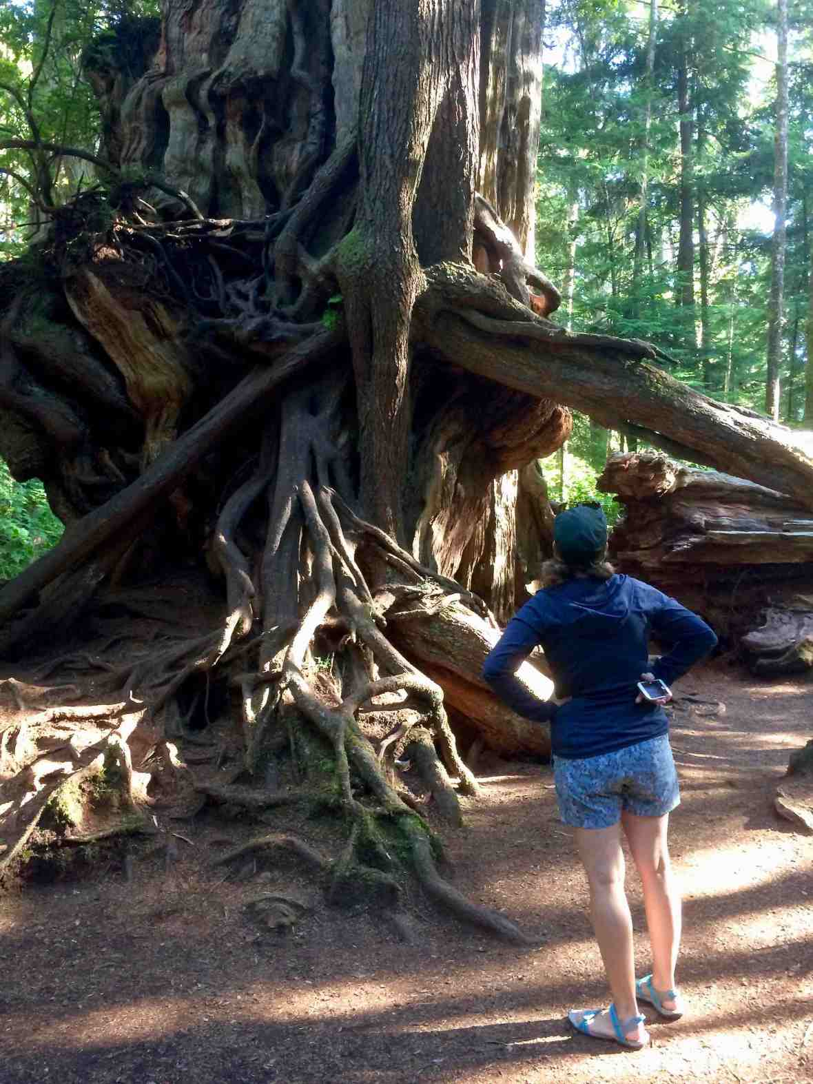 Big Cedar tree stump at Kalaloch Olympic National Park