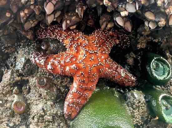 Starfish Sea Star at Ruby Beach, Olympic National Park
