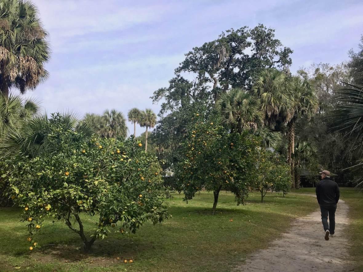 Orange & Tangerine grove at Marjorie Kinnan Rawlings orchard & homestead Cross Creek Florida