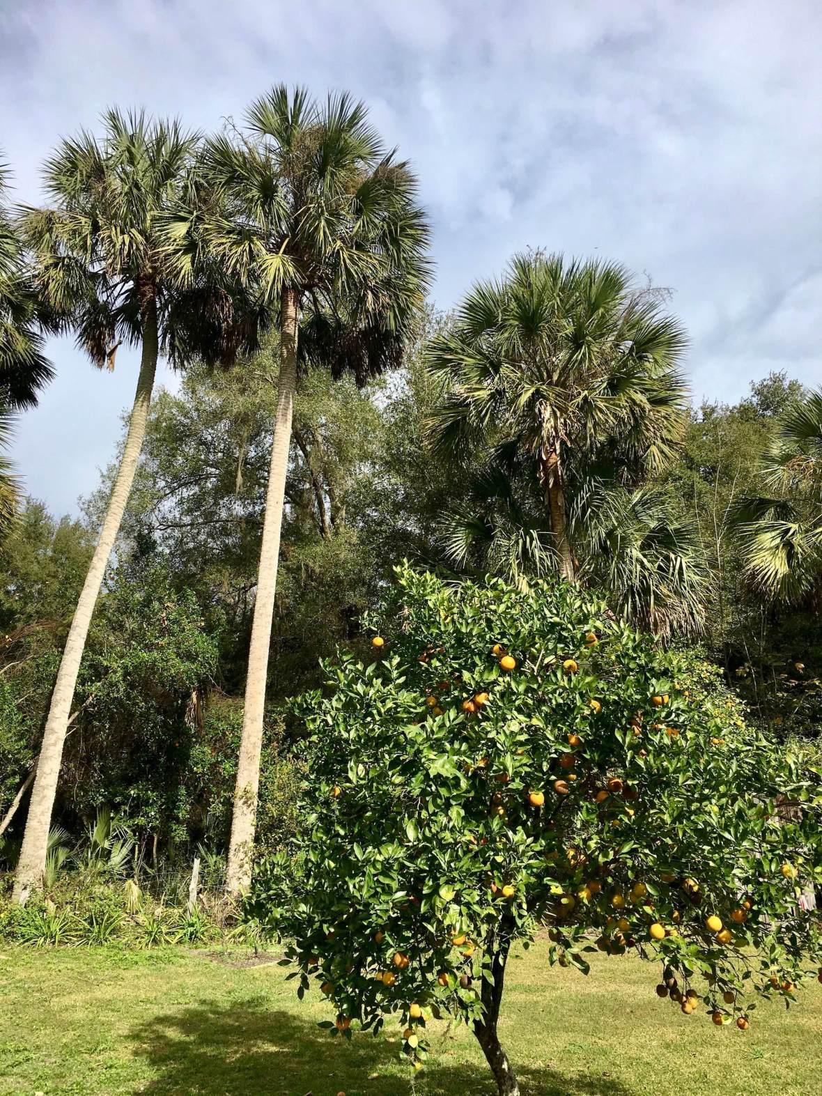 Orange Grove and Palm Trees at Marjorie Kinnan Rawlings homestead, Cross Creek Florida
