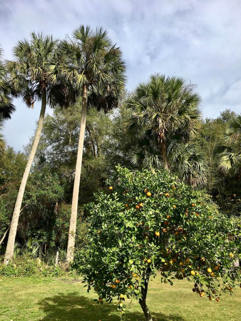 Orange Grove and Palm Trees at Marjorie Kinnan Rawlings homestead, Cross Creek Florida