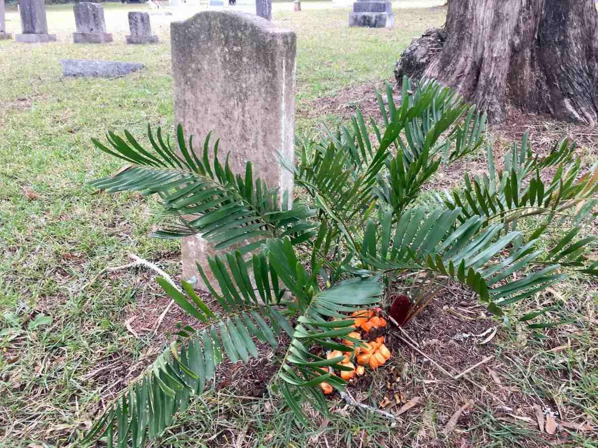 Fern in Antioch Cemetery, Island Grove. Florida