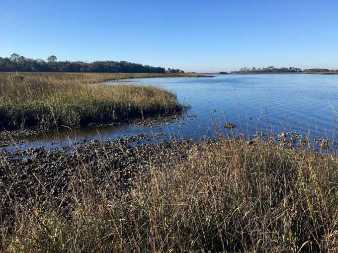 Salt marsh oyster beds at Shell Mound Levy County park Cedar Key Florida