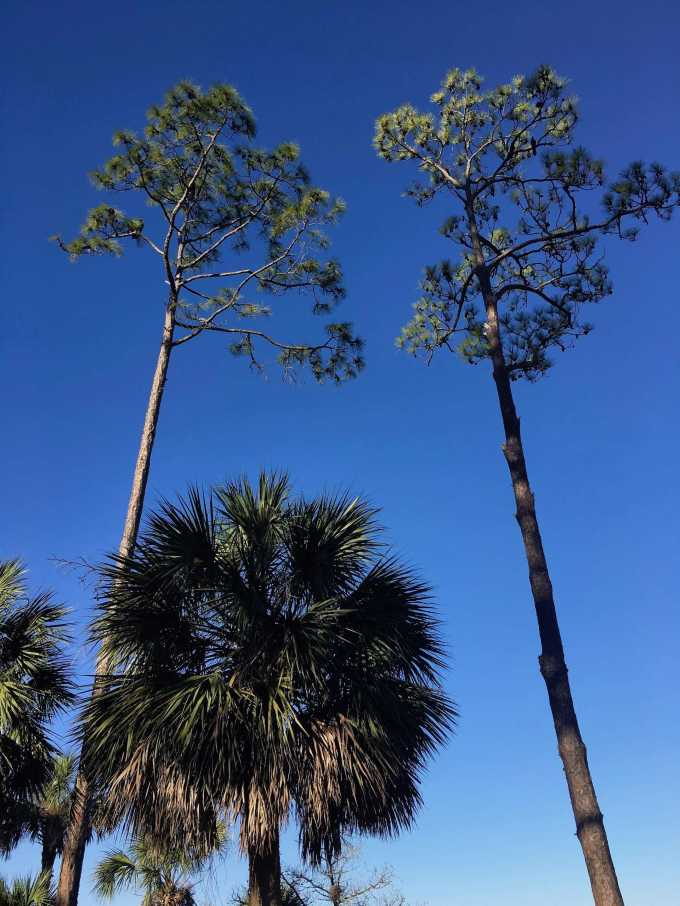 Tall pines and palm trees along the salt marsh at Shell Mound