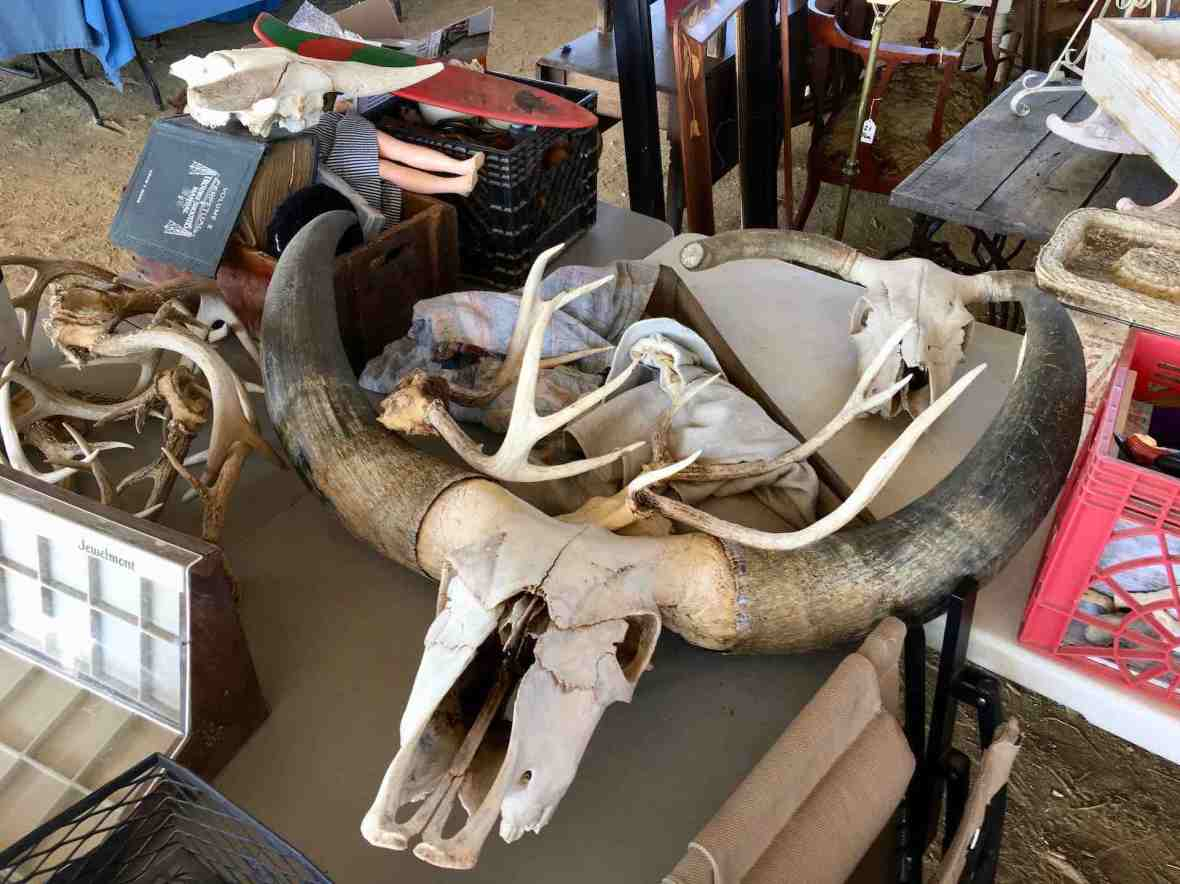 Huge mystery animal skull. Texas longhorn maybe?