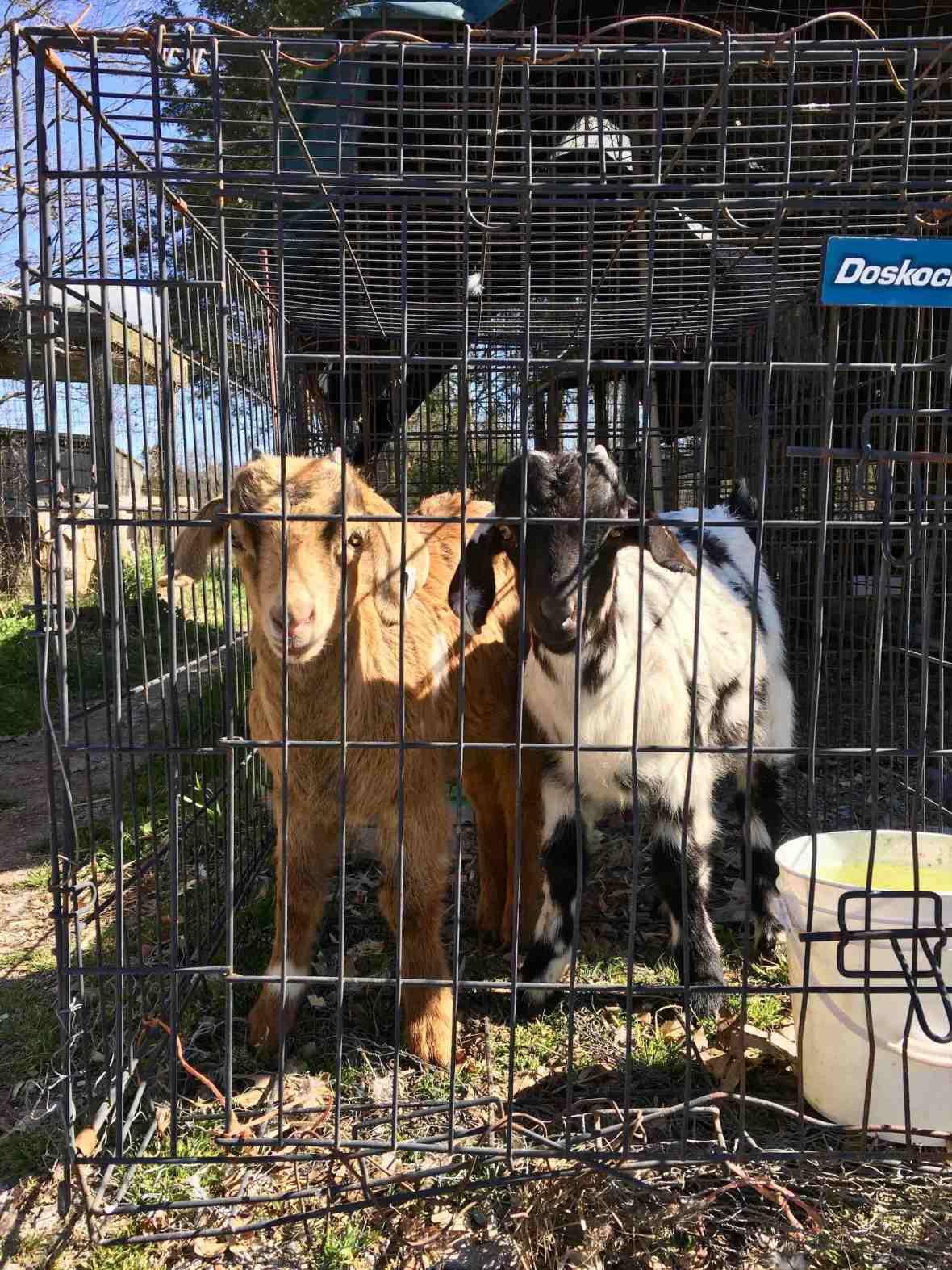 Caged Goats at Lebanon area flea market
