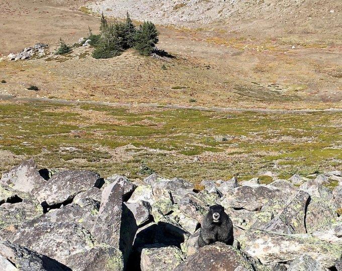 Marmots along Trail to First Burroughs Mount Rainier National Park