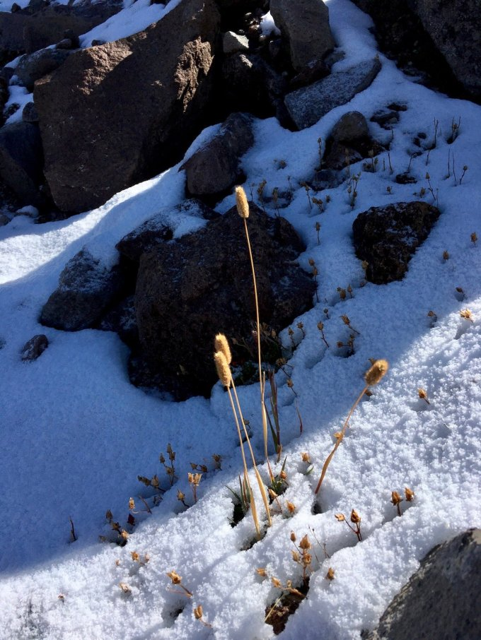 Golden Grasses peeking out from under the snow along Trail to First Burroughs Mount Rainier National Park