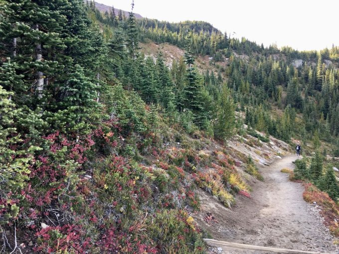 Autumn color in the subalpine forest on the Sunrise Rim trail in Mount Rainier National Park