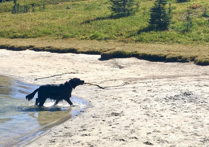Dog playing in a glacial pond just off the Naches Peak loop trail in Okanogan-Wenatchee National Forest