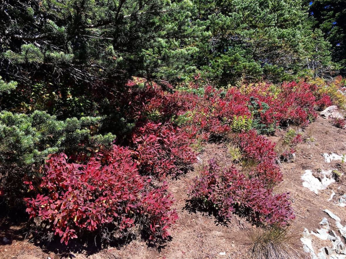 Huckleberry bushes with autumn color along the Naches Peak loop trail in Mount Rainier National Park