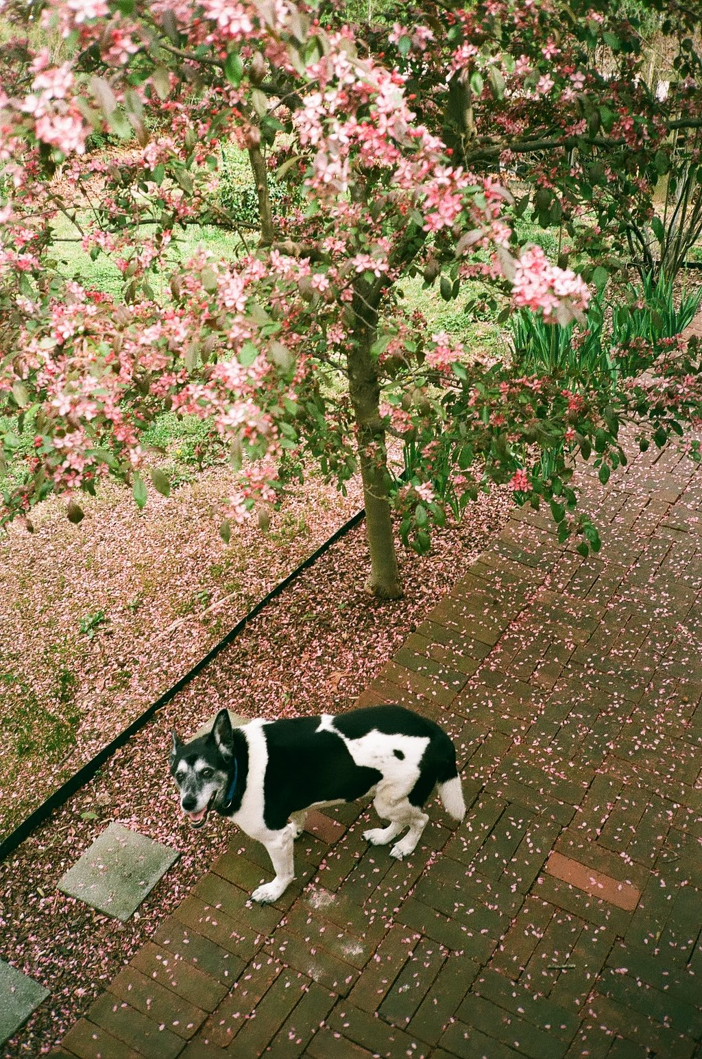 35mm film photography Dodge under the Pink Crabapple Tree