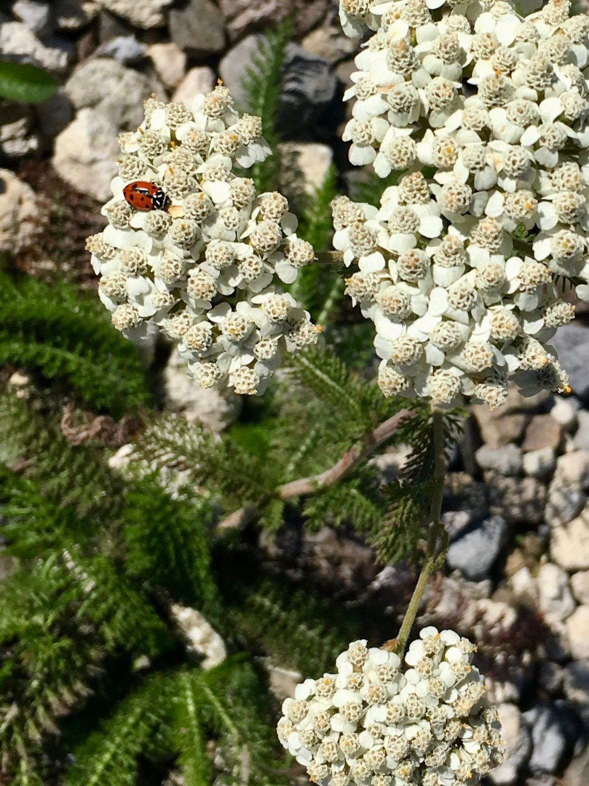Ladybug and Wildflowers at Mount St. Helens National Volcanic Monument