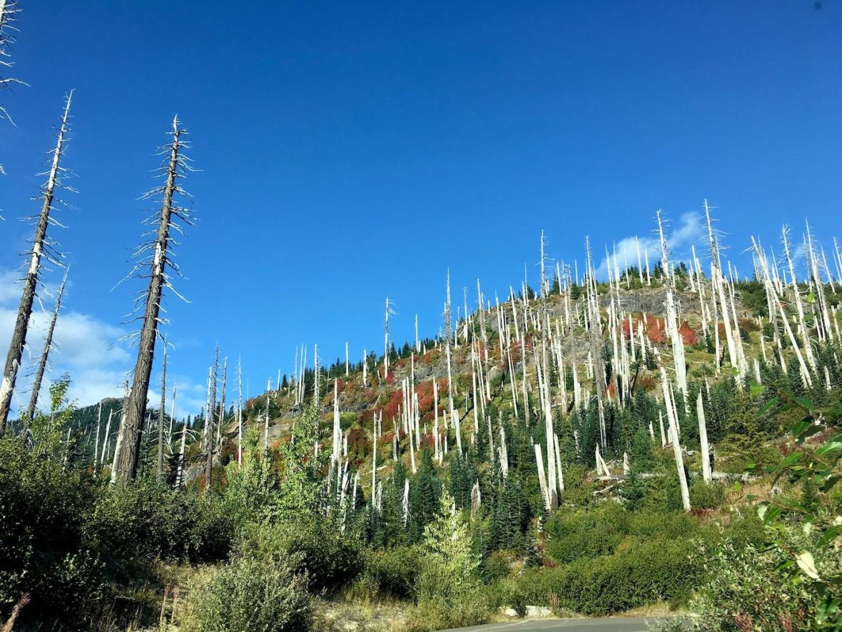 Dead tree skeletons and healthy regrowth on East side of Mount St. Helens National Volcanic Monument