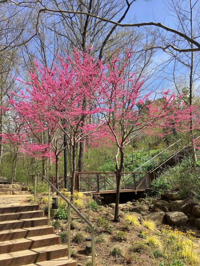 Redbud trees at Crystal Bridges Museum of American Art in Bentonville, Arkansas