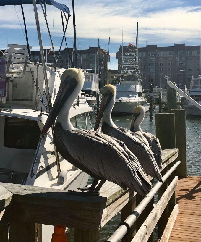 Pelicans in Dunedin Harbor
