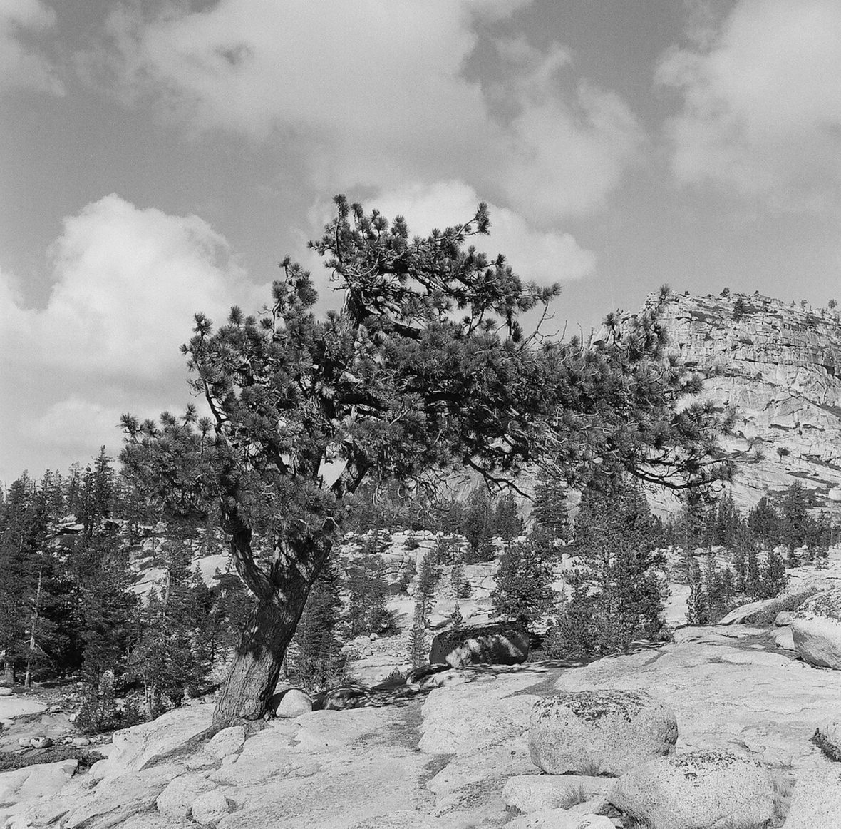 Medium format 120mm monochrome film photography Tree in Yosemite National Park
