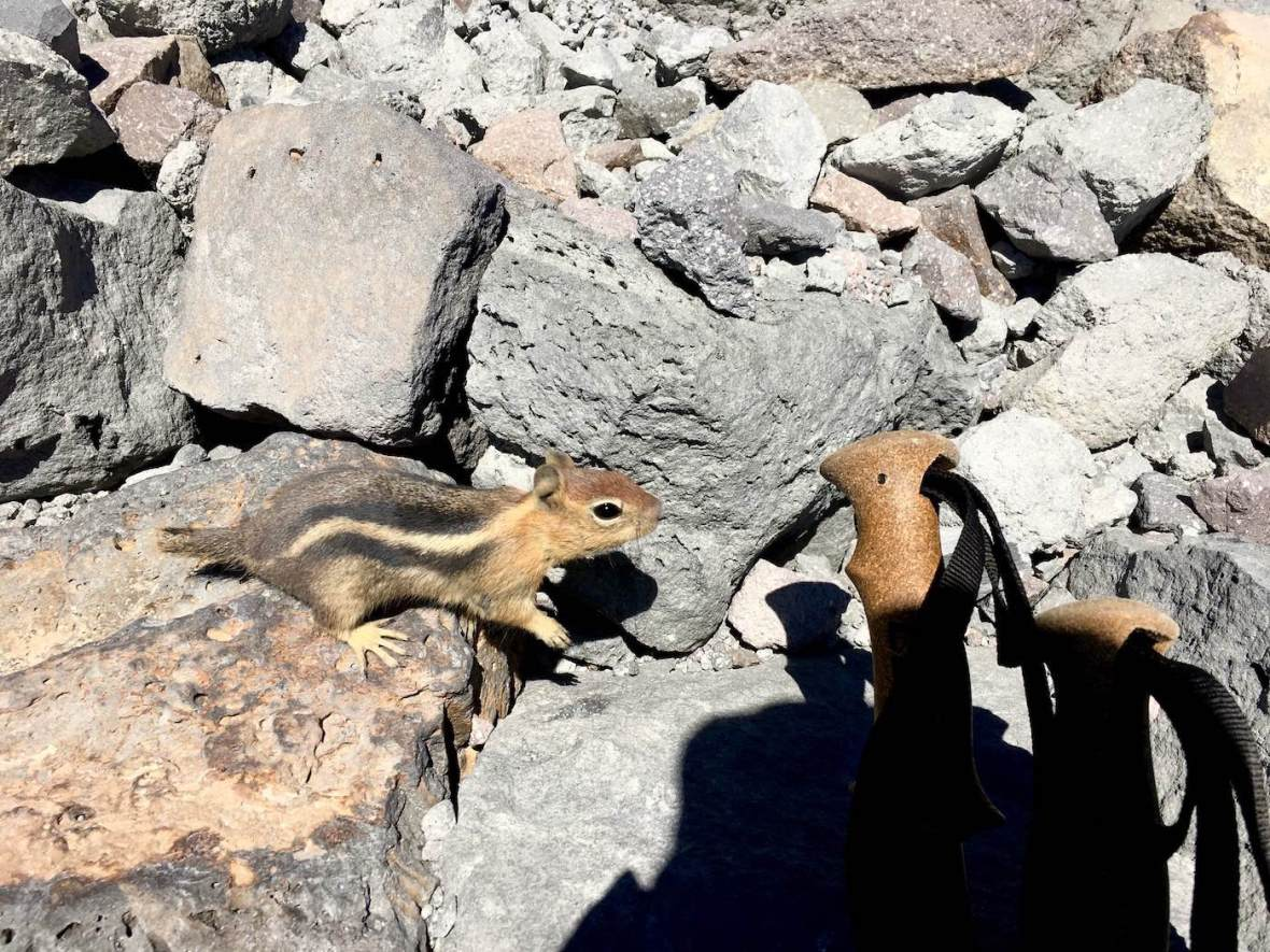 Golden Mantled ground squirrel on the Lassen Peak trail in Lassen Volcanic National Park