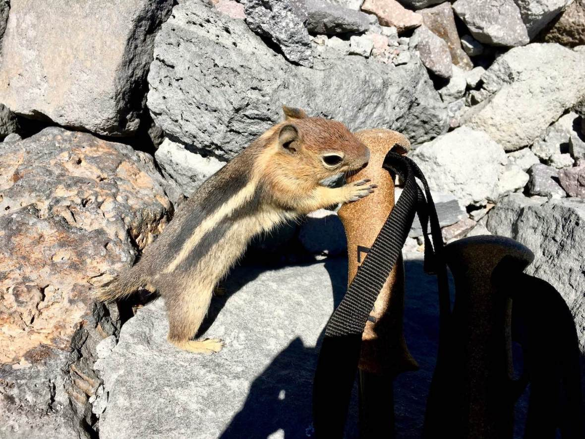 Golden Mantled ground squirrel trying to eat my trekking pole on the Lassen Peak trail in Lassen Volcanic National Park