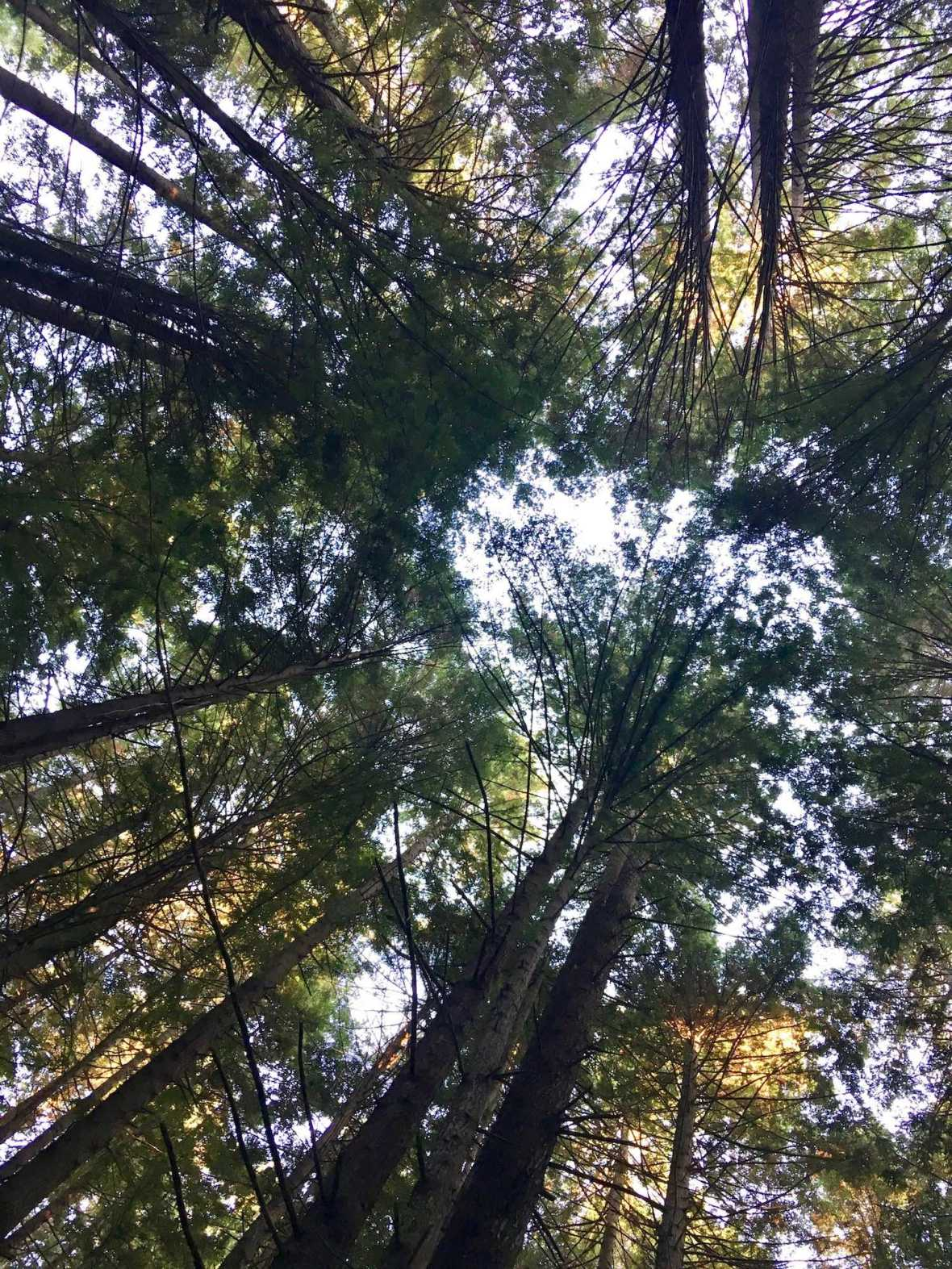 Camping in tall redwood forest at the Crescent City / Redwoods KOA