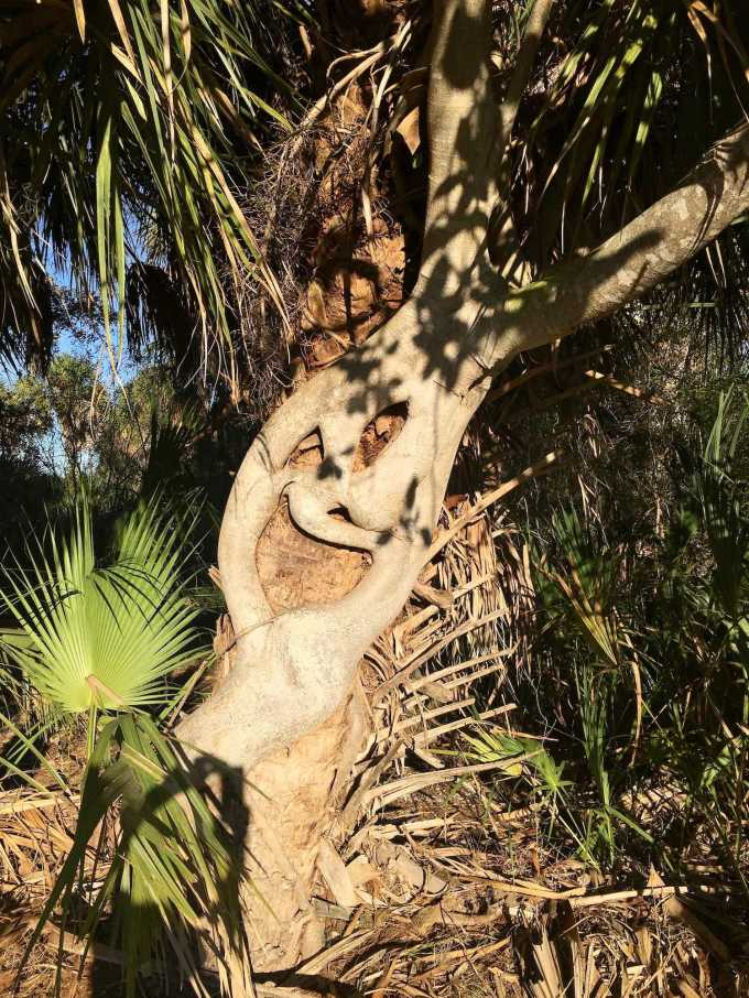 Interesting trees growing together along the interpretive trail in Fort De Soto Park