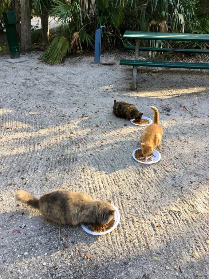 Feral cats at Fort De Soto Park campground near St. Petersburg, Florida