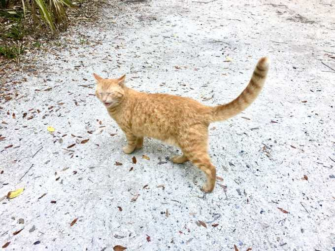Feral cat in our campsite at Fort De Soto Park campground