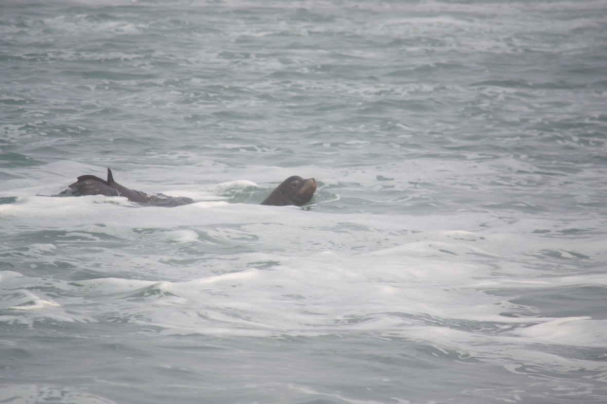Sea lion feeding at the confluence of the Klamath River and Pacific Ocean