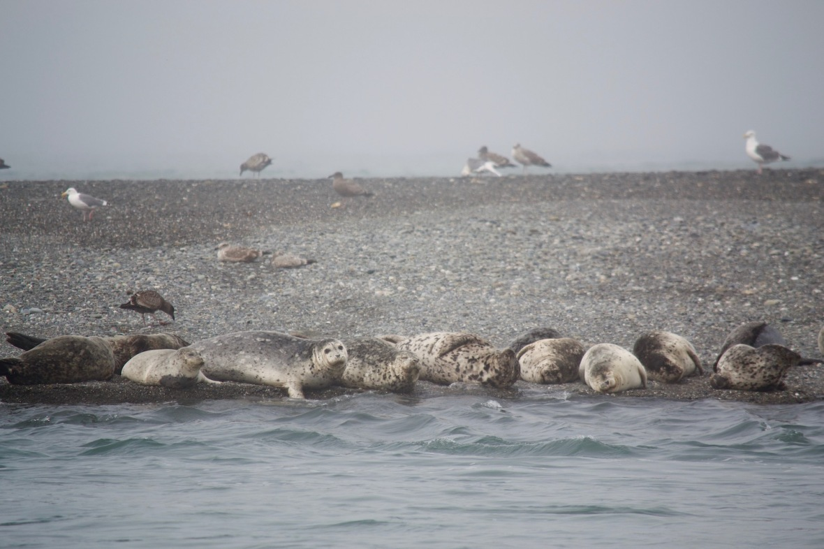 Harbor Seals on the sand spit in the Klamath River at Klamath Beach, California
